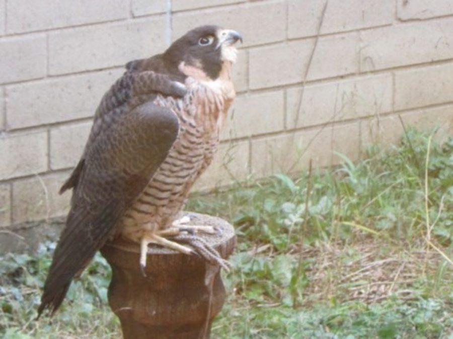 Pickles%2C+a+female+peregrine+falcon+owned+by+biology+teacher+Andrew+Weaver+sits+on+her+perch+in+the+science+courtyard+during+the+school+day+on+Nov.+23.+%22The+school+has+3+pairs+of+breeding+falcons%2C+which+produce+an+average+of+8+chicks+per+year%2C%22+Weaver+explains.%0A