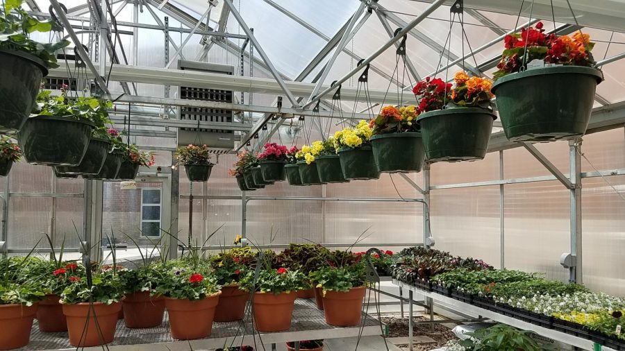 The SAHS greenhouse is full of plants that are ready to sell. You can purchase these plants at a social distancing sale on May 8 or 9.