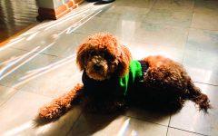 Junior Kyra Kellogg's new poodle Flynn enjoys a warm sunbath. Flynn was adopted during the quarantine like many other animals.