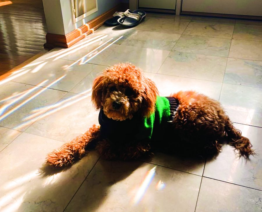 Junior Kyra Kellogg's new poodle Flynn enjoys a warm sunbath. Flynn was adopted during the quarantine like many other animals.